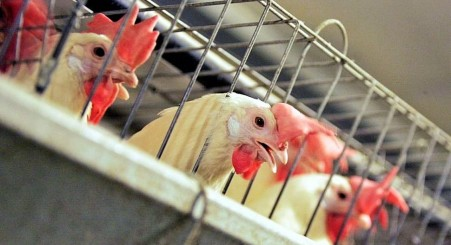 chicken-cage-california-law